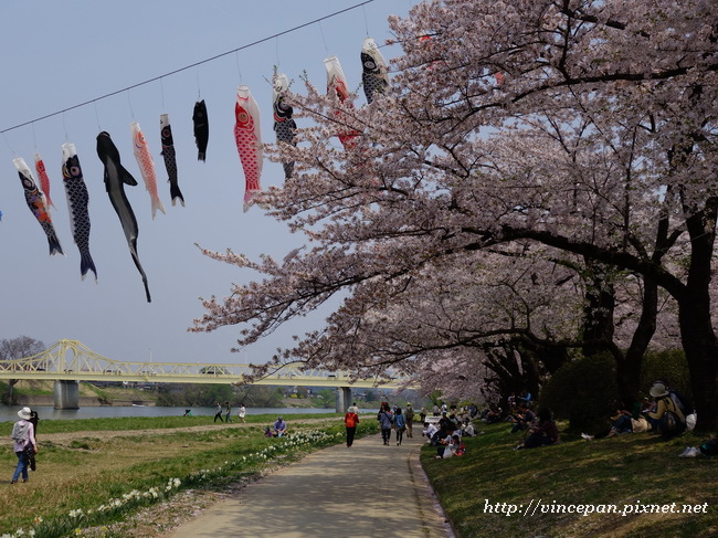 鯉魚旗櫻花