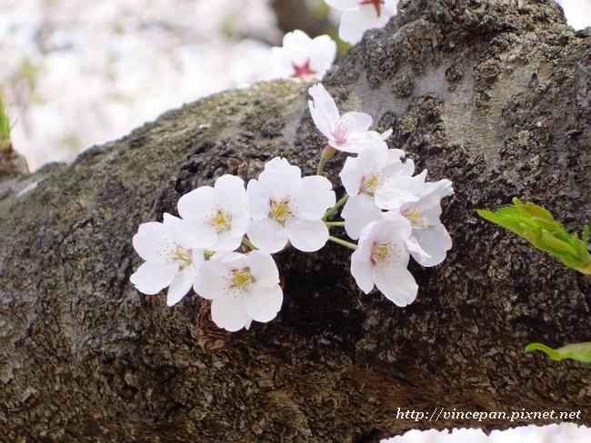 樹幹上櫻花