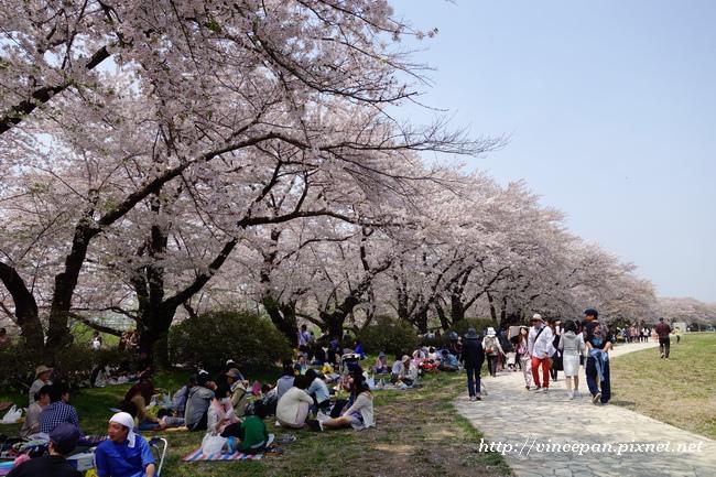 遊客野餐、賞櫻