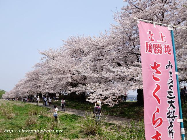 櫻並木 旗子