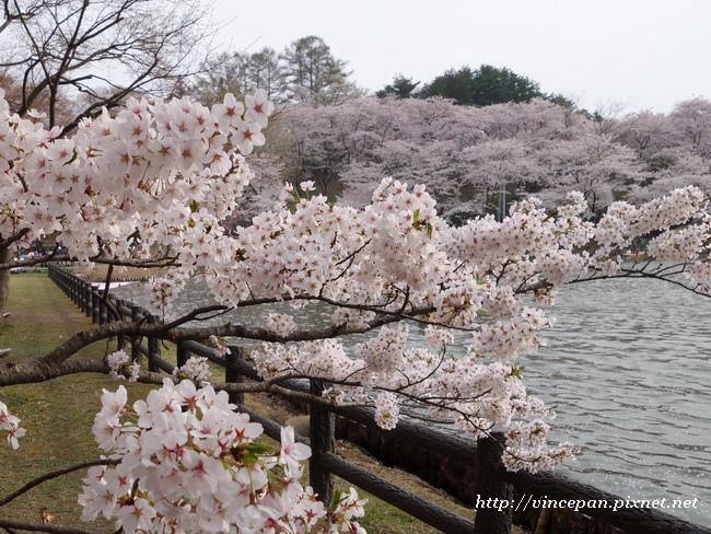 櫻花樹枝1
