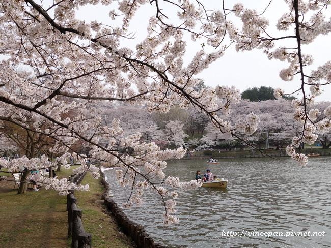 櫻花樹枝2