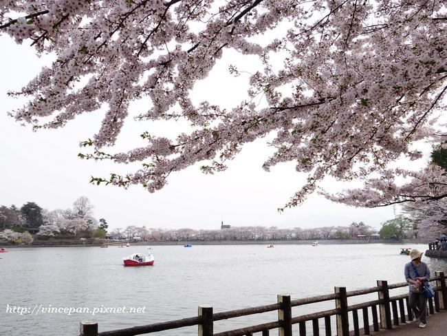 池畔櫻花2
