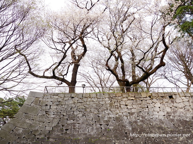 花崗岩石牆 櫻花