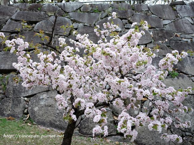 特殊品種櫻花