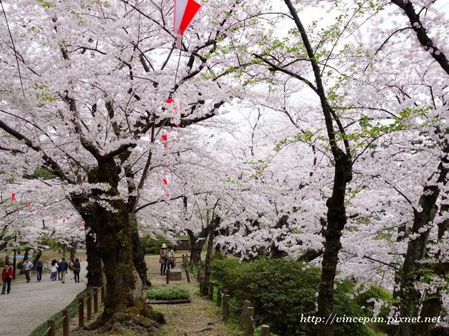土堤  櫻花1