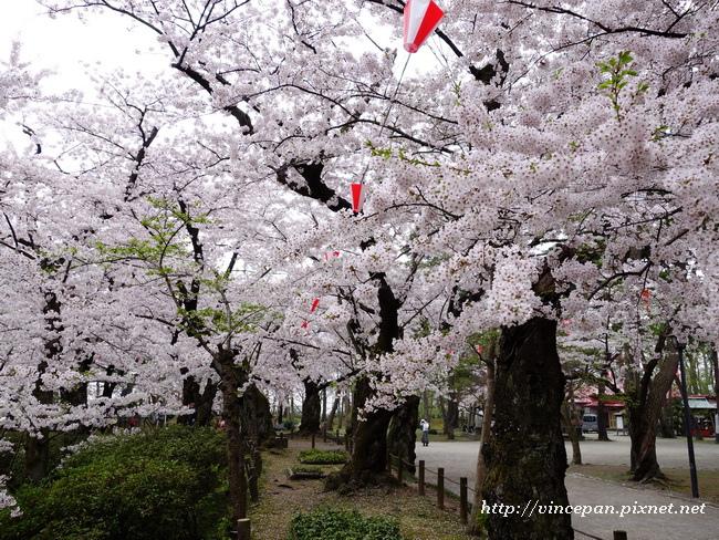 土堤  櫻花2