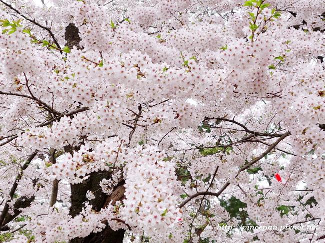 土堤  櫻花3