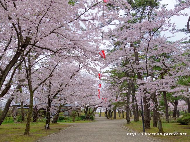 千秋公園 櫻花2