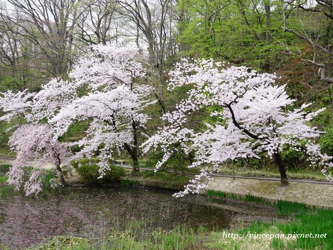 櫻花 水面