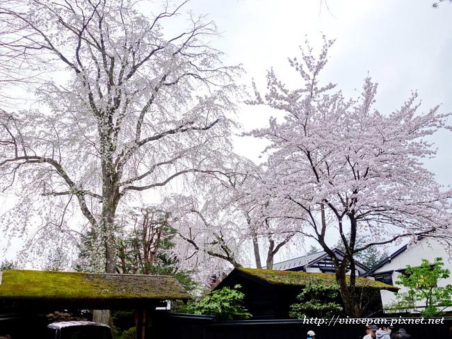櫻花  屋頂青苔