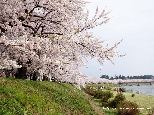 檜木内川堤 櫻花
