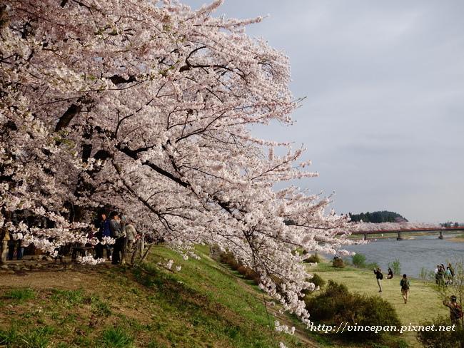 檜木内川堤 櫻花1