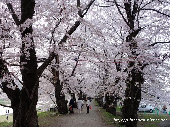 檜木内川堤 櫻花隧道4