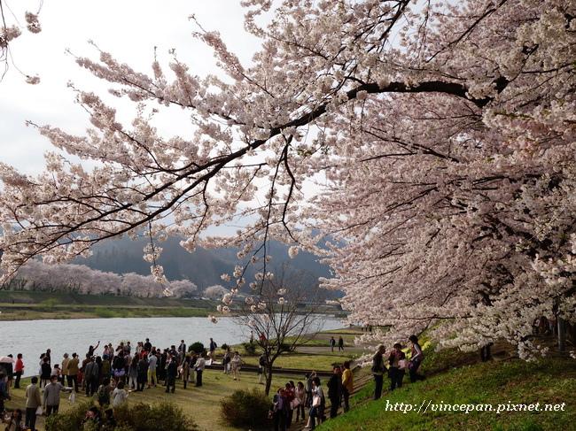 檜木内川堤 櫻花 魔術