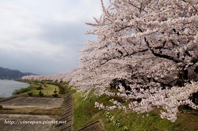 桧木内川堤櫻花3