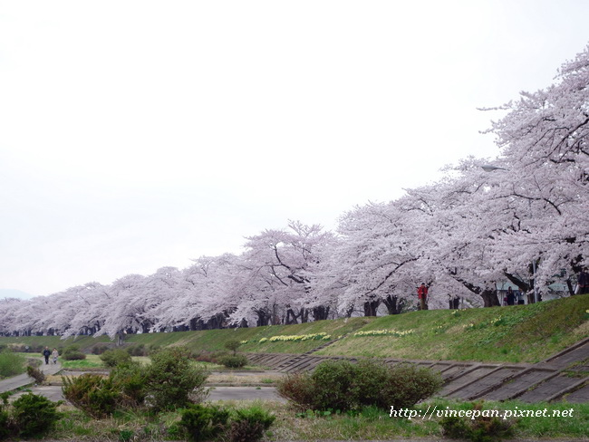 檜木内川堤 櫻花 河堤3