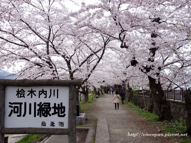 檜木内川堤 櫻花隧道3