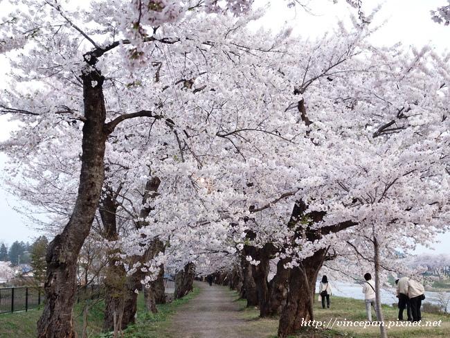 檜木内川堤 櫻花隧道5