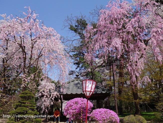 櫻花杜鵑花1