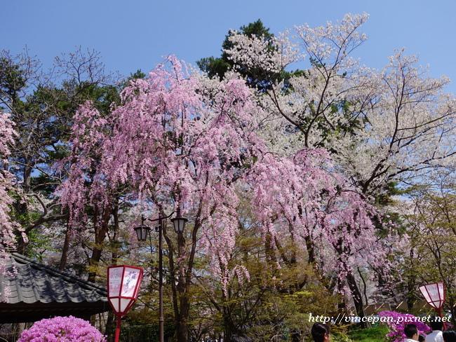 櫻花杜鵑花2