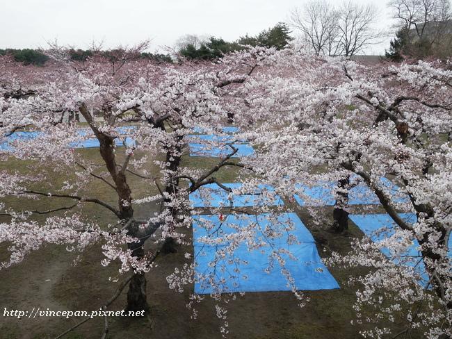 櫻花 帆布