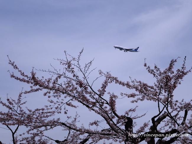 櫻花林 飛機