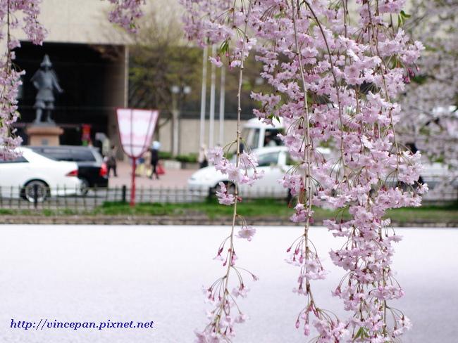 櫻花絨毯與枝垂櫻
