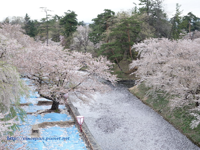 凋落的櫻花樹