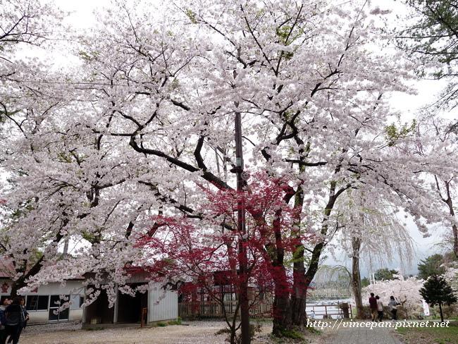 芦野公園 櫻花1
