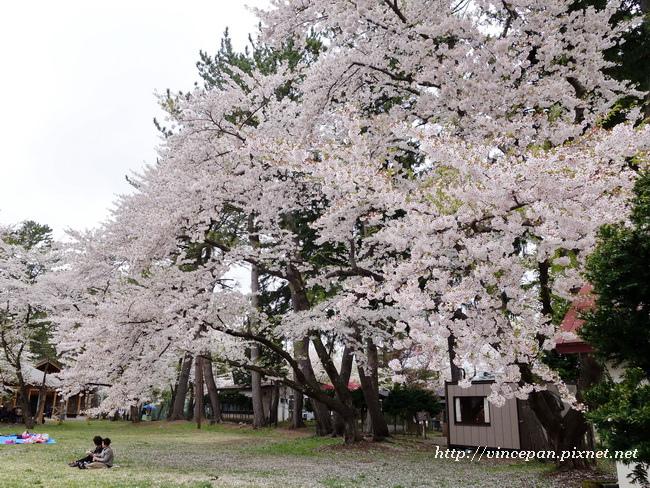 芦野公園 櫻花2