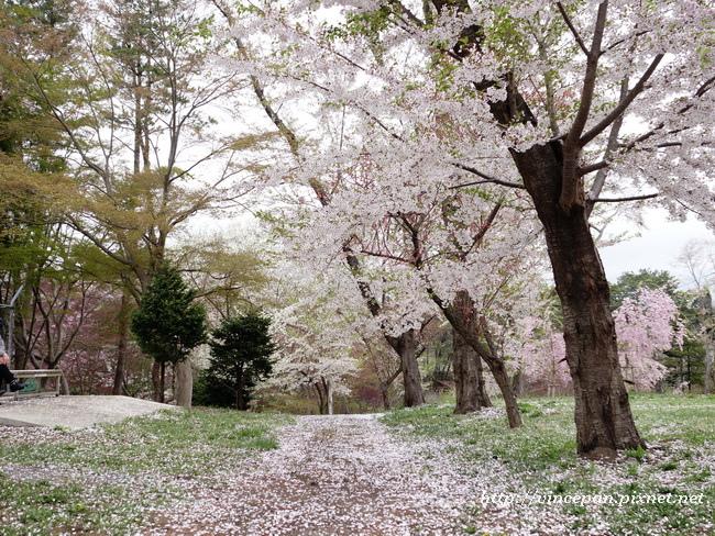 芦野公園 櫻花3