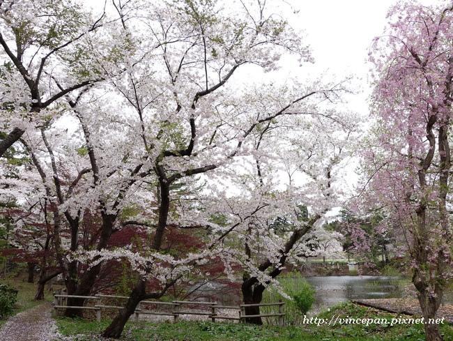 芦野公園 櫻花4