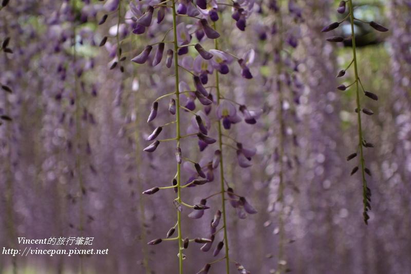 紫藤 景深2