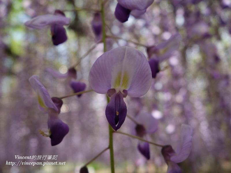紫藤花近拍1