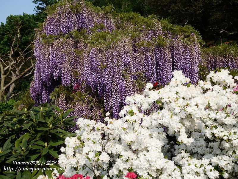 紫藤跟杜鵑1
