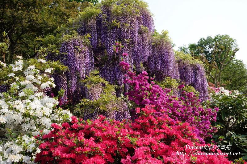 紫藤跟杜鵑2