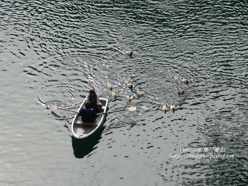 水鴨 泛舟