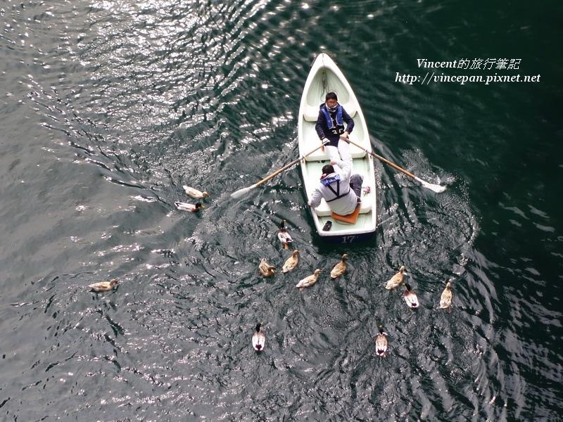 水鴨 泛舟2