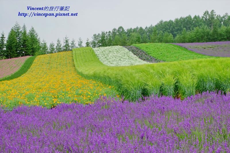 富田農場七彩花田2