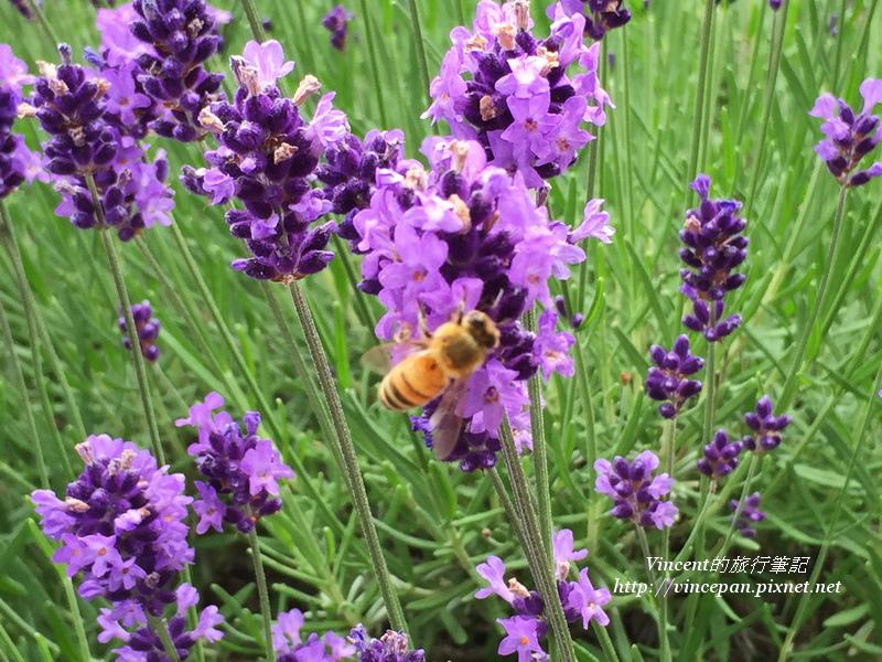 濃紫早開薰衣草 蜜蜂