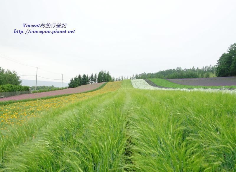 彩色花田 小麥