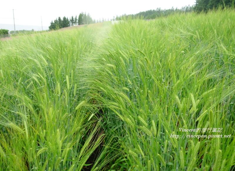金黃色的小麥