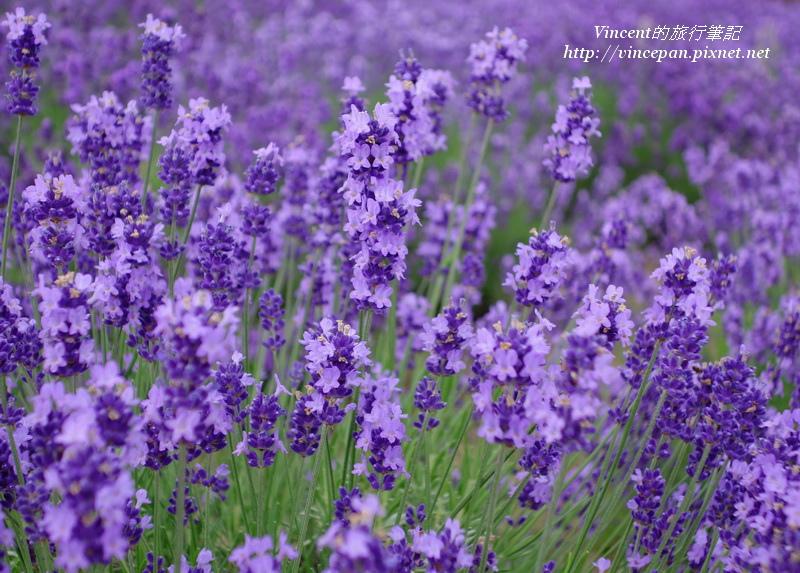 濃紫早開3
