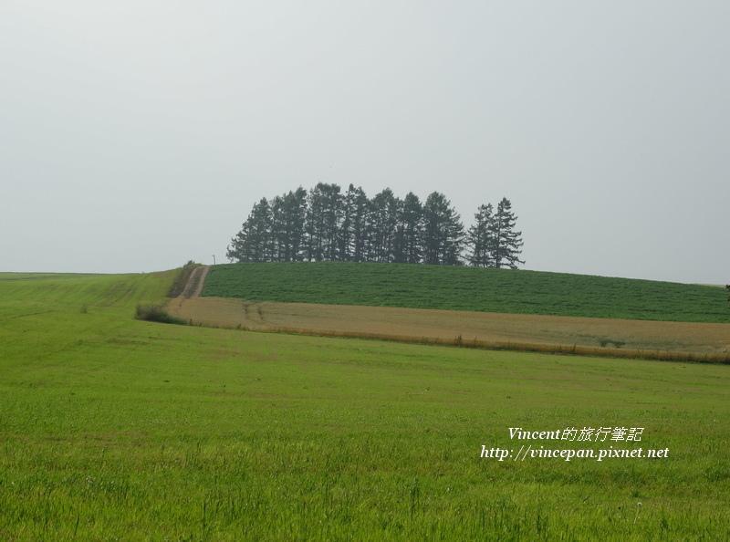山坡上這排松樹2