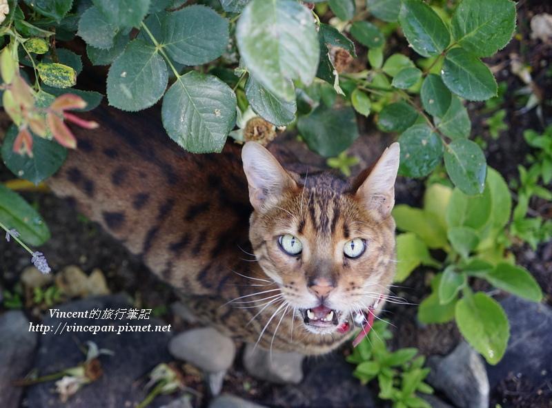 豹紋的貓2