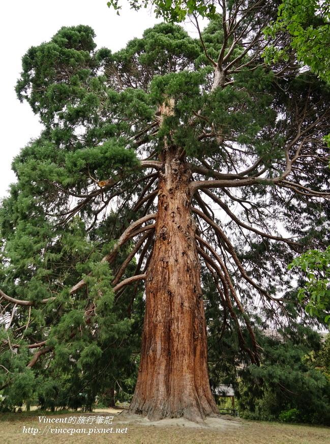 公園大樹2