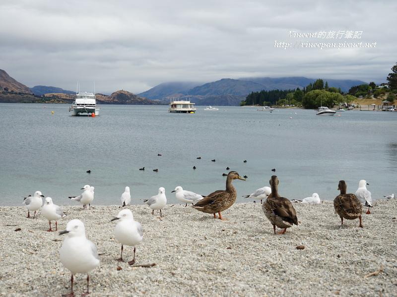 Lake Wanaka海鷗野鴨