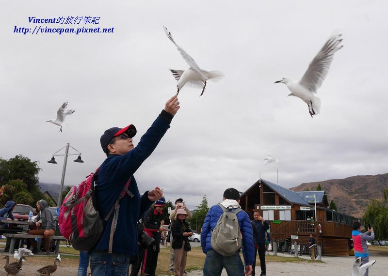 Wanaka餵食海鷗