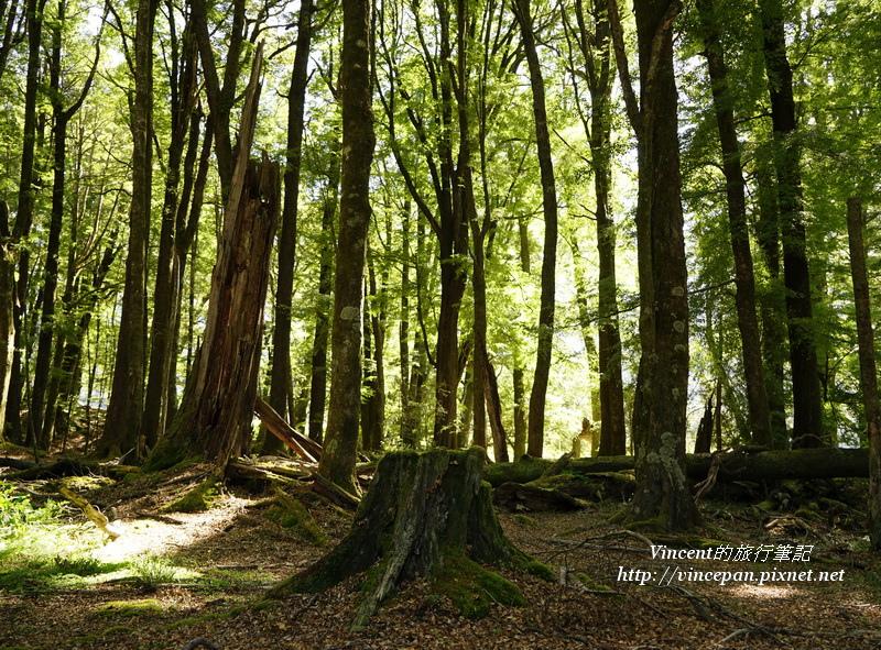 魔戒森林 樹根